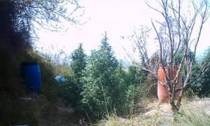 Desmantellen una plantació de marihuana a Beniatjar i detenen tres persones implicades a Atzeneta