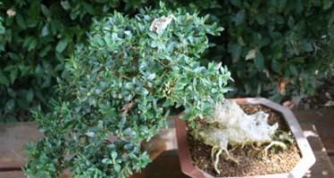 Árboles de interior: ficus, bromelias, bonsáis…