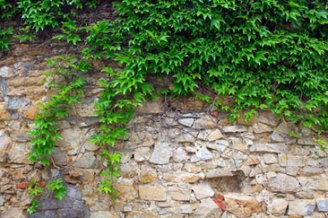 Podar plantas trepadoras