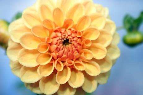Flor dalia