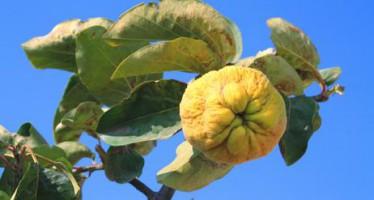 El árbol membrillero, cuidados básicos