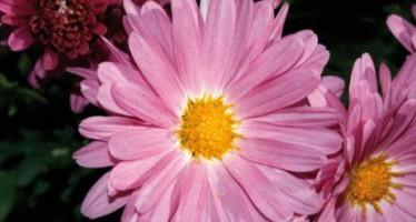 Flores aster para un jardín otoñal