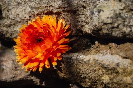 Flor caléndula