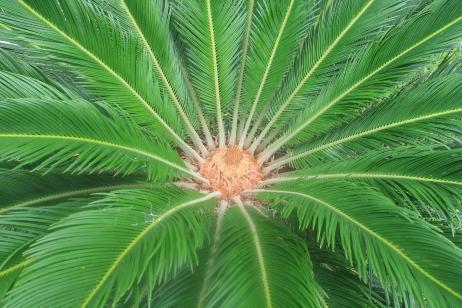 Cuidados planta cica