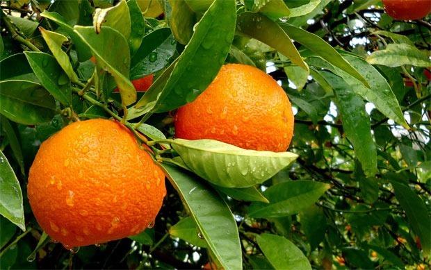 citricos-valencianos