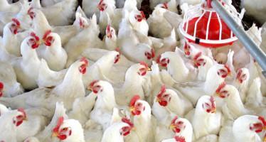 Agricultura destina cerca de 400.000 euros a sanidad avícola