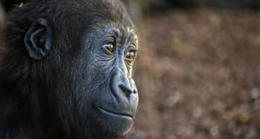El gorila Ebo será protagonista este fin de semana en Bioparc Valencia
