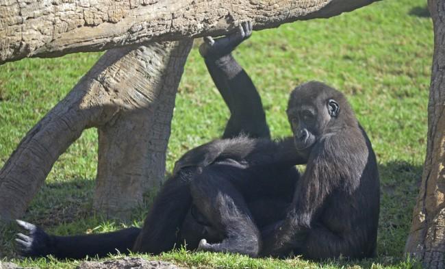 El pequeño gorila EBO - Octubre 2015 - BIOPARC Valencia