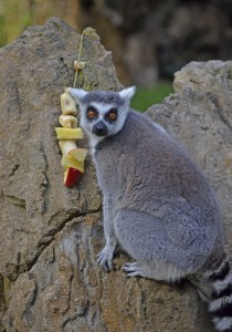 lémur de cola anillada junto a una brocheta - enriquecimiento ambiental en Expedición África navidad - BIOPARC VALENCIA