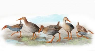 Las cinco especies de aves que Darwin no pudo conocer en Madeira y Azores