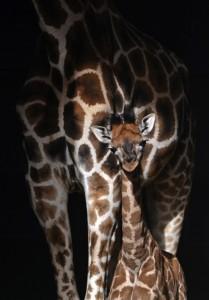 BIOPARC Valencia - la cría de jirafa cumple 3 semanas de vida 3 (det)