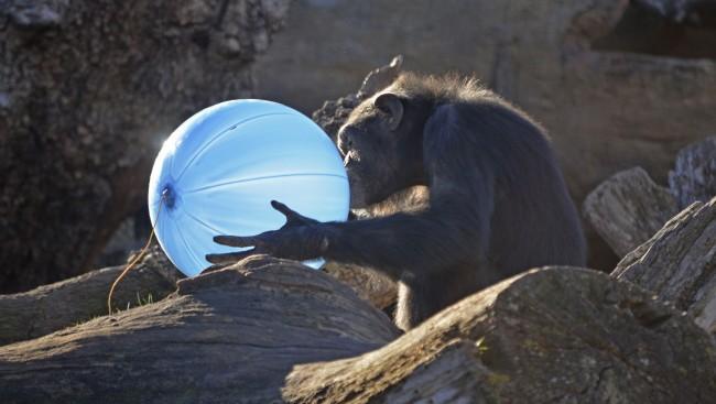 Reyes Magos 2016 en BIOPARC Valencia - chimpancé con balón