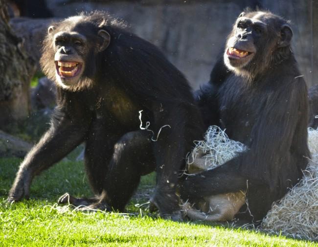 Reyes Magos 2016 en BIOPARC Valencia - chimpancés