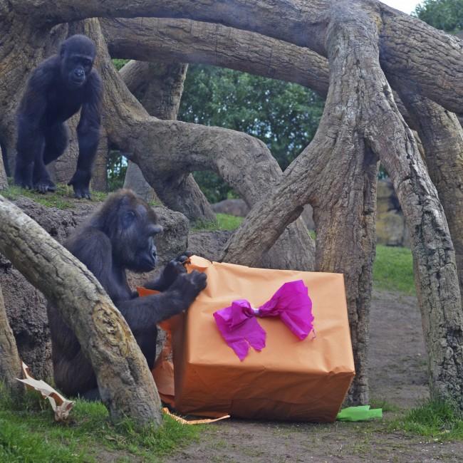 Reyes Magos 2016 en BIOPARC Valencia - los gorilas Ali y Ebo