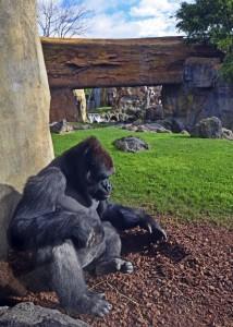 Febrero 2016 - gorila en el bosque ecuatorial de BIOPARC Valencia