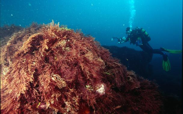 La herramienta NEAT permitirá evaluar el estado de los mares. En la imagen, un buceador nada frente a una pradera de algas gelidium. / Álex Iturrate (AZTI)