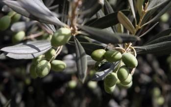 El Consell reemprende la campaña de lucha contra la mosca del olivo