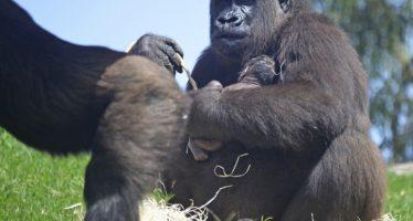Nace un gorila a la vista del público en Bioparc Valencia
