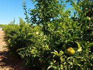 Tratamientos terrestres contra la mosca de la fruta en zonas citrícolas