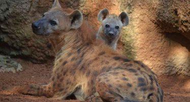 Niru es el nombre elegido por los valencianos para el cachorro de hiena nacido en Bioparc