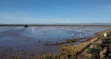 La Generalitat autoriza excepcionalmente la quema de la paja del arroz en la Albufera