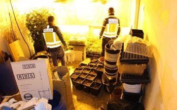 La Policía Nacional desmantela una plantación de marihuana en Pobla de Vallbona