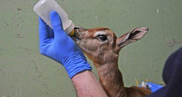 Nace a la vista del público en Bioparc Valencia una gacela 'extinta' en la naturaleza