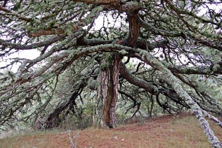Una comisión de expertos ultima el Reglamento de la Ley de Patrimonio Arbóreo