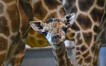 Nace una nueva jirafa en Bioparc Valencia de una subespecie en peligro de extinción