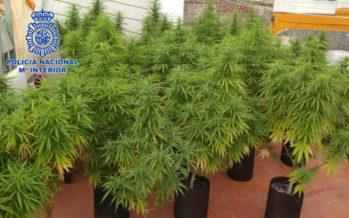 La Policía Nacional desmantela un punto de cultivo y venta de marihuana en Gandía