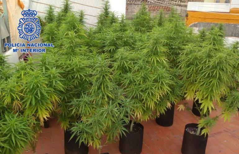 Desmantelan una plantación de Marihuana en Gandia