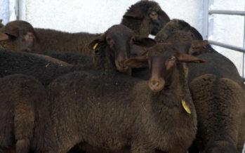 Agricultura convoca ayudas al fomento de razas autóctonas en peligro de extinción