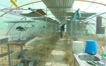 La Guardia Civil desmantela 9 criaderos ilegales de aves exóticas en Elche