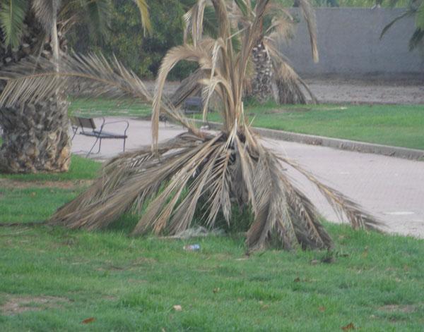 Caiguda d'una palmera en un jardí de València. Foto d'arxiu