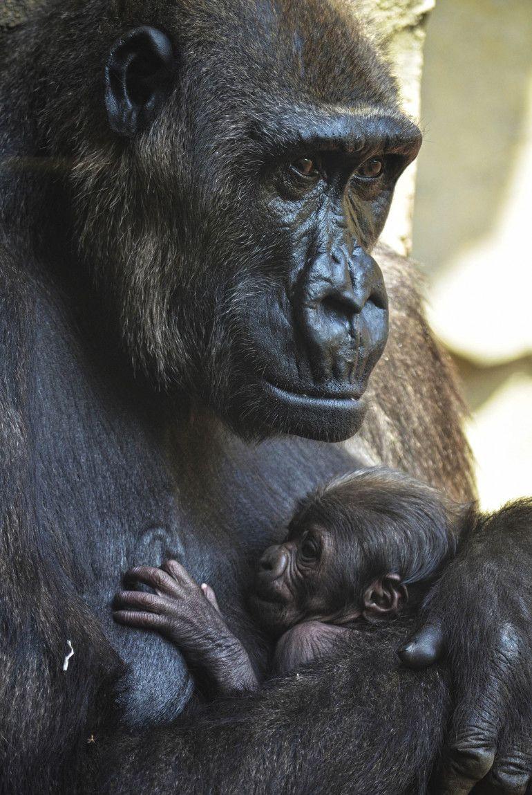 a4214cb36def Estos días la estampa en el recinto de gorilas de Bioparc Valencia rebosa  ternura con la presencia del bebé gorila nacido el pasado jueves 11 de  abril.