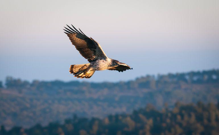 """Ecologistas En Acción vuelve a reclamar la declaración del águila perdicera como """"En Peligro de Extinción en la Comunitat Valenciana, antes de que esta imagen desaparezca de nuestra geografía. Foto: José Ventura"""
