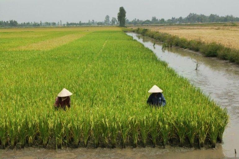 cultivo arroz asia