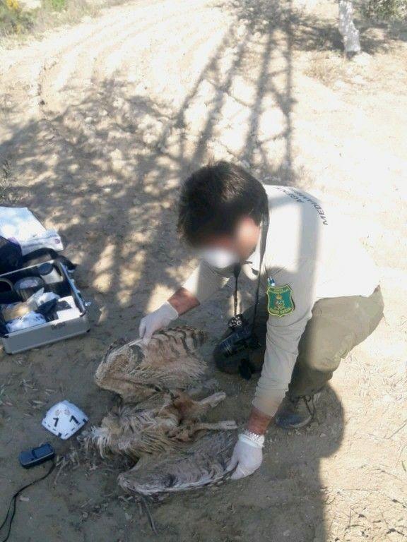 Un Agente Medioambiental de la Generalitat realiza el levantamiento del cadáver de un ave presuntamente electrocutada
