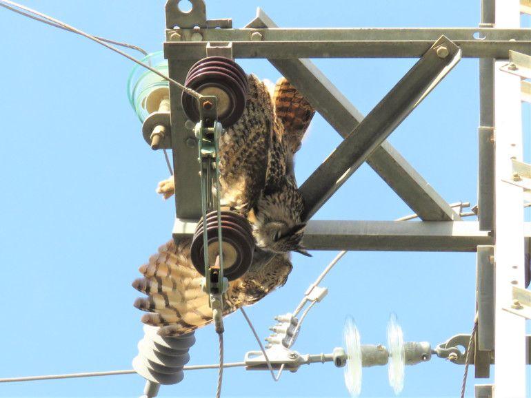 Búho real electrocutado en un apoyo eléctrico sin medidas de seguridad.