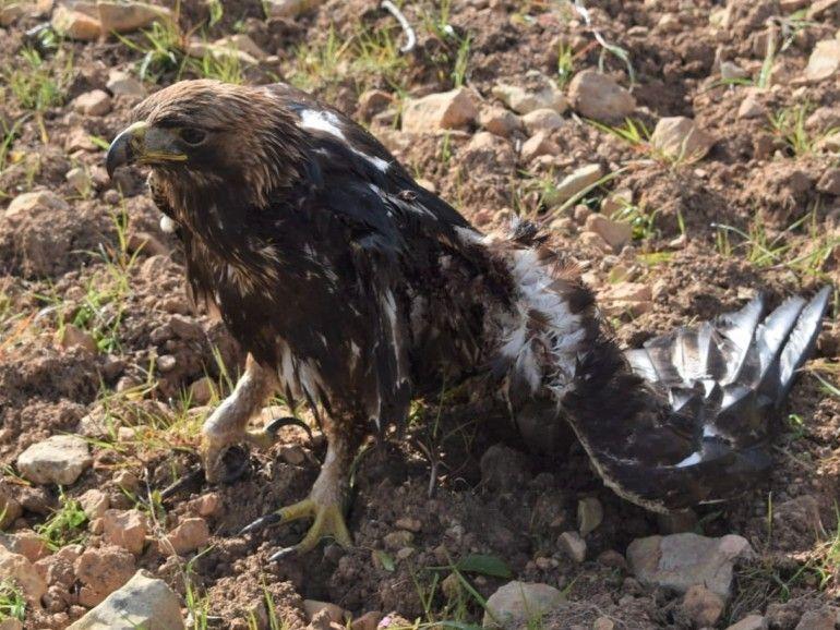 Águila real agonizante tras sufrir una electrocución 2 semanas atrás. Las lesiones le imposibilitaban totalmente para el vuelo. Murió a causa de las graves heridas.