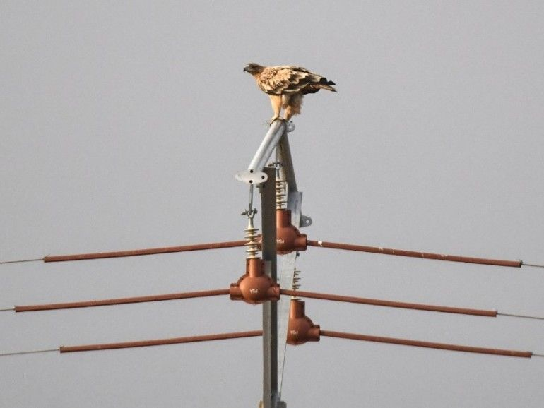 . Águila imperial ibérica posada sobre un apoyo eléctrico debidamente equipado con elementos aislantes, lo que le confiere una gran seguridad para las aves.