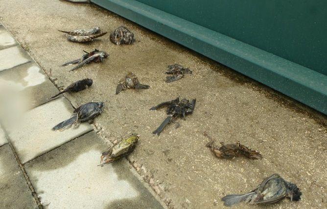 Aves muertas en el interior de las pistas de pádel de Palma de Gandia, durante el confinamiento. Foto: ADENSVA