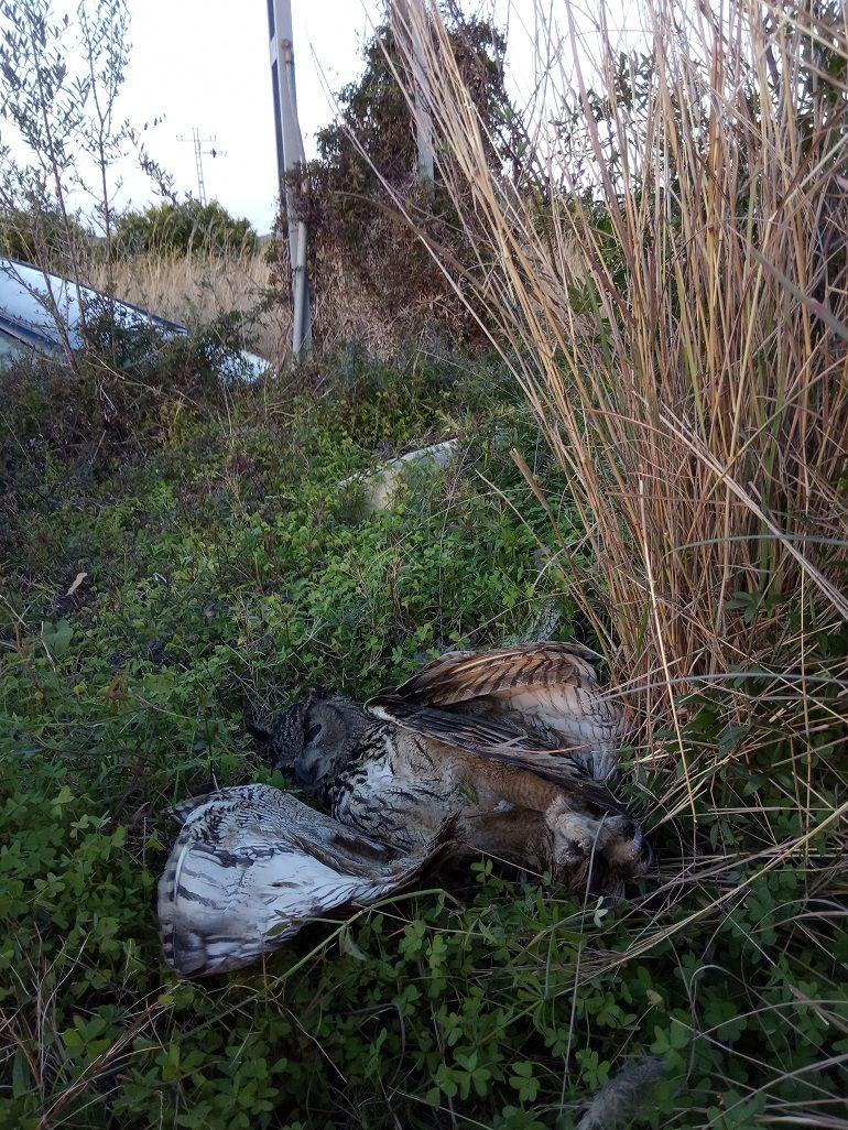Búho real muerto a los pies de una torrreta en Pego
